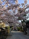 20170320桜神宮.jpg